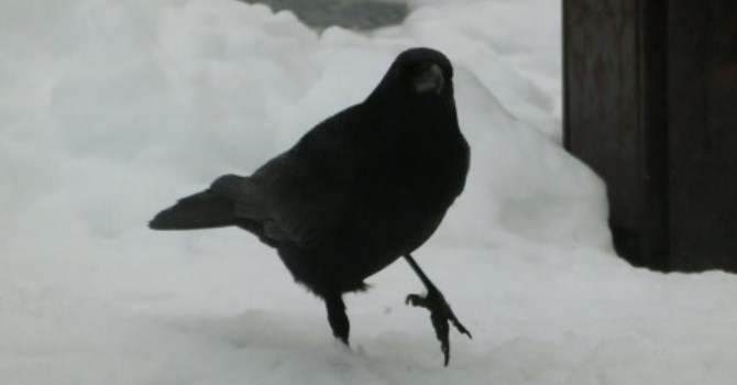 Crow, why do you caw? Mind your own business, says the crow